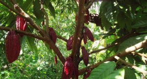 cacao agroforestal